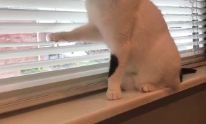 Cat Messing with Blinds for Attention From Human