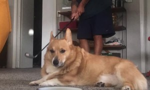 Rambo the Corgi Disapproves my Hole in One