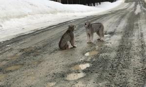 Male Lyxn Courting Female Lynx