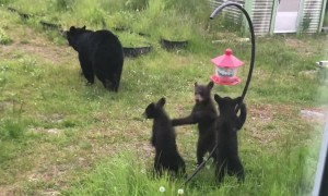 Mama Bear and Cubs Investigate Bird Feeder