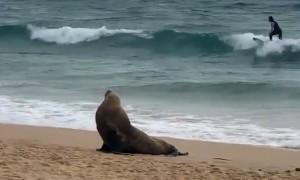 Manly Beach this morning - Australian Fur Seal