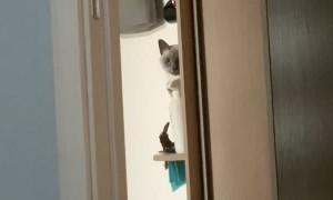 Cat Pushing Things off the Shelf