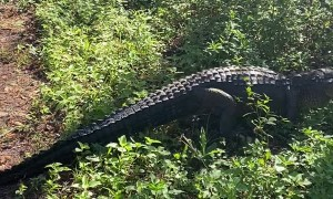Alligator Blocks Motorcyclists Path