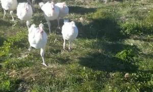 Turkey Whisperer