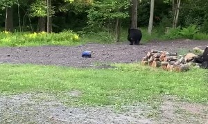 Black Bear Investigates an RC Car