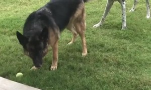 Dog Best Friends Playing Tug of War with Flashback