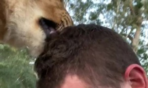 Zookeeper gets loving kiss from lion buddy