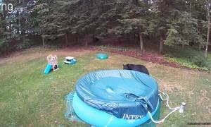 Bear Swims and Tears Up Pool