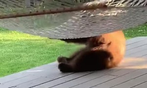 Bear Cub Has Fun with Hammock