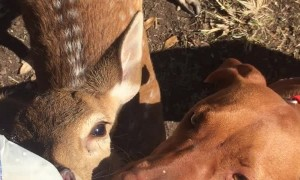 Dog and Baby Fawn Share a Sip