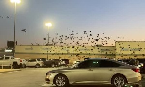 Grackles Swarm Over Texas