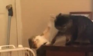 Playful Kitties Claw at Each Other