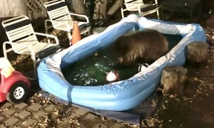 Bear Playing in a Little Pool