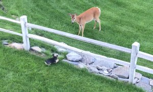 Small Dog and Deer Have Face Off at Fence