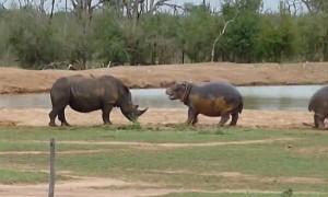 Hippo Incredibly Scares Away Threatening Rhino