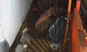 Bear Struggles to Snag Snacks from Trash Can