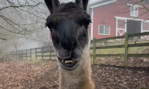 Llama Gets the Lip Jitters