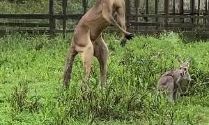 Kangaroo Jack Flexes for the Camera