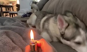 Dramatic Husky Sees a Lighter for the First Time