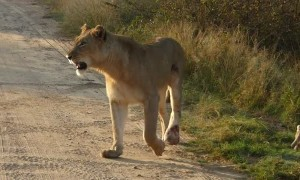 Watch This Lioness Safely Carry Her Young One Across Road