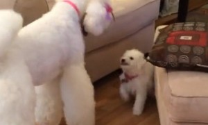 Tiny Puppy Hilariously Challenges Giant Poodle