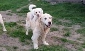 Puppy Hilariously Jumps Onto Golden Retriever's Back