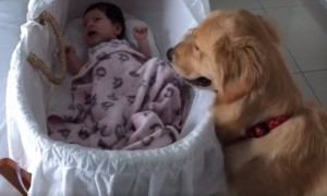 Caring Golden Retriever Consoles Crying Baby