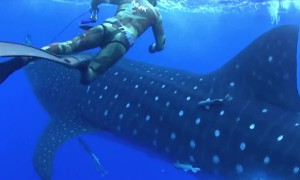 Watch As Massive Whale Shark Crashes Into Diver