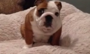 Excited Bulldog Puppy Absolutely Loves His New Bed