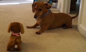 Dachshund Dog's Priceless Reaction To Meeting Look-Alike