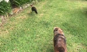 Bush Turkey Wants to Walk His Doggy Friend