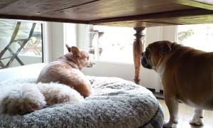 Bulldog Throws Temper Tantrum After