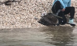Pelican Freed From Fishing Line Predicament