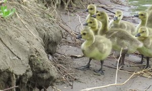 Family of Goslings Work to Climb Small River Bank