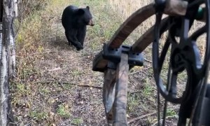 Bear Spooked By Bow Hunter