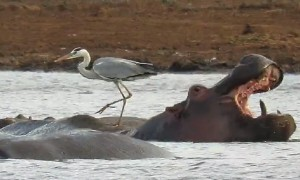 Heron Bravely Balances On The Back Of A Hippo