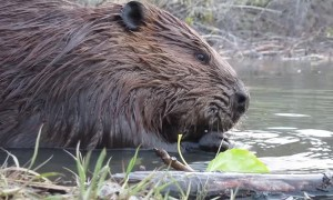 Close-Up Footage of Beavers Eating in a Pond