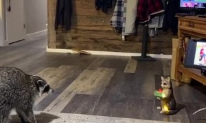 Pet Raccoon Stands Up to Statue