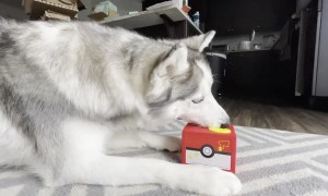 Husky Confused by Treat Stealing Toy