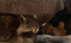 Raccoon and Doggy Enjoy Unlikely Friendship