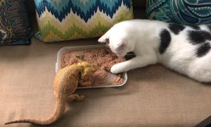 Cat Helps Bearded Dragon Eat Breakfast