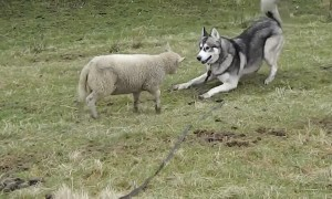 Excited Lamb Enjoys Playtime With Husky Friend
