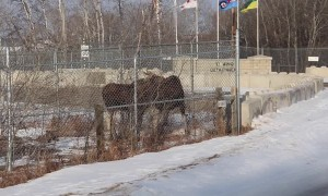 Moose Family Confused By New Military Fence