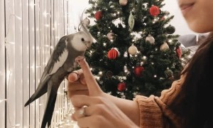 Wilbur the Cockatiel Showcasing His Tricks