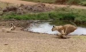 Gazelle Amazingly Outmaneuver A Charging Lion