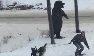 Dogs Drag Snowboarder Across the Street