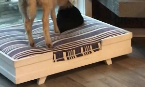 Lamb Steals Comfortable Bed From Kitty