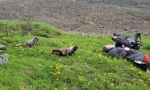 Family of Hoary Marmots Use Sweat as a Salt Lick
