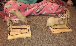 Rats Show off Their Basketball Skills