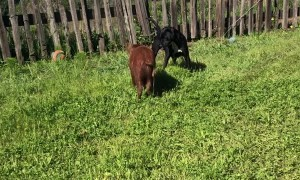 Rescue Dog and Pig Playing Together